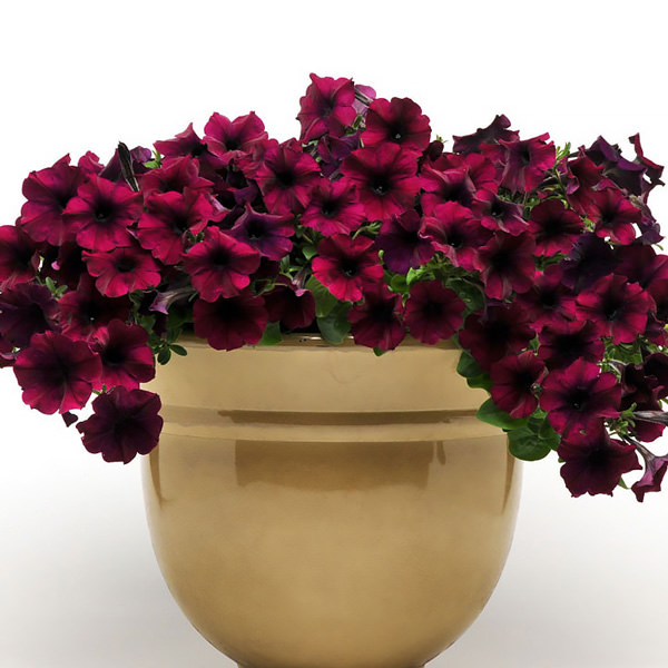 Trailing petunia, Easy Wave Burgundy Velour