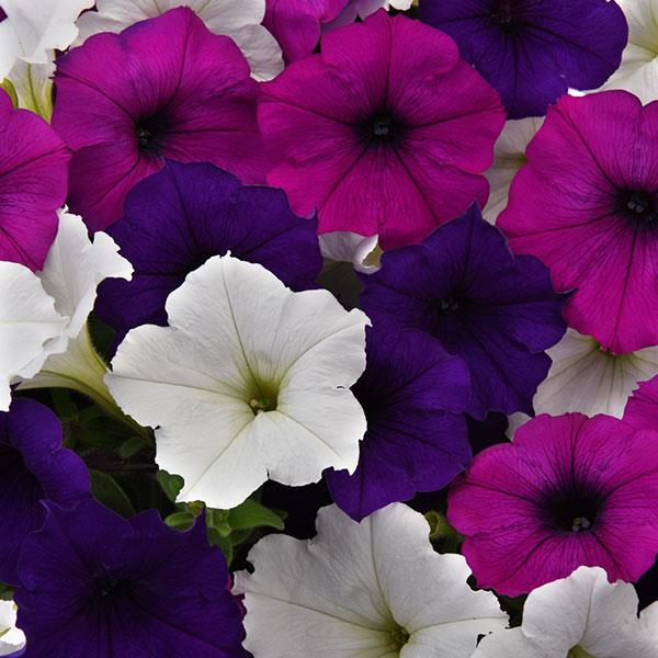 Easy Wave Great Lakes Mix trailing petunia seeds