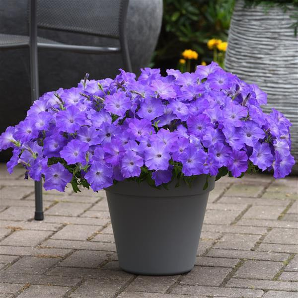 Easy Wave Lavender Sky Blue Trailing Petunia Seeds