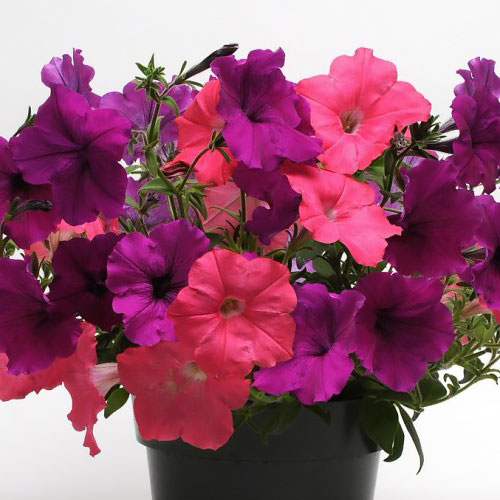 Opposites Attract Mix trailing Petunia
