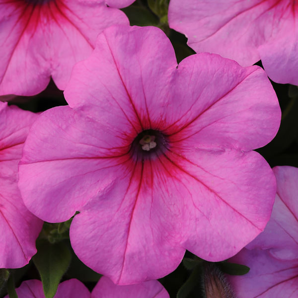Trailing petunia, Easy Wave Pink Passion