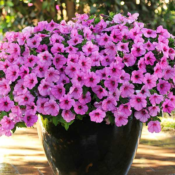 Easy Wave Pink Passion trailing petunia bloom.