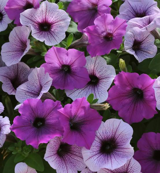 Easy Wave Plum Pudding Mix trailing petunia seeds