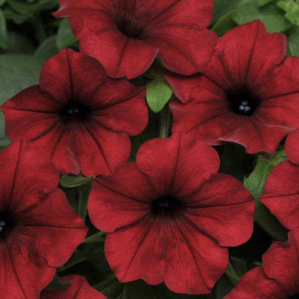 Easy Wave Red Velour trailing petunia seeds