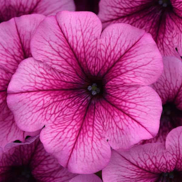 Easy Wave Rose Fusion trailing petunia seeds