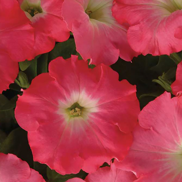 Easy Wave Rosy Dawn trailing petunia