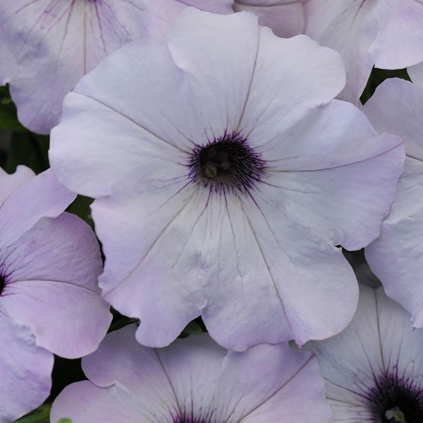 Easy Wave Silver trailing petunia seeds