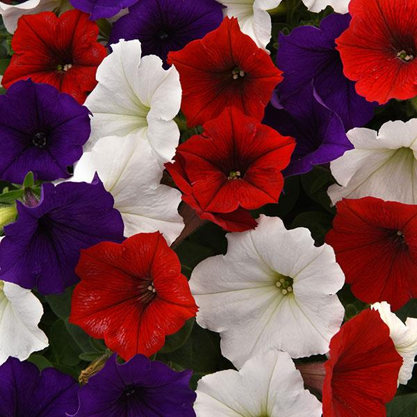 Petunia, Easy Wave The Flag trailing petunia seeds