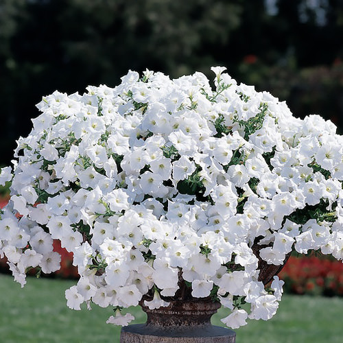 Trailing petunia seeds 52 trailing petunias annual flower seeds easy wave white trailing petunia seeds mightylinksfo