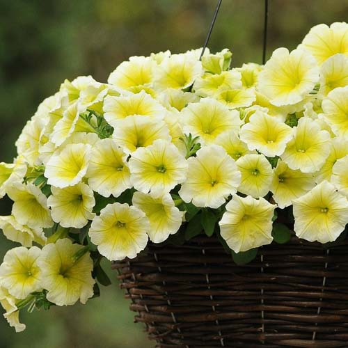 Easy Wave Yellow trailing petunia seeds