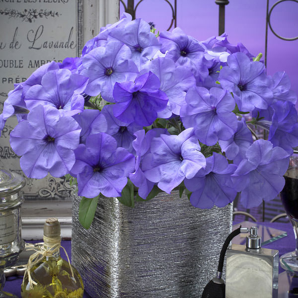 Evening Scentsation petunia