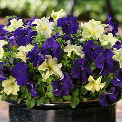 Petunia Fuseables Blueberry Lime Jam seeds