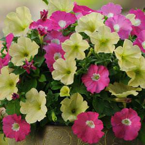 Petunia Fuseables Flirtini seeds
