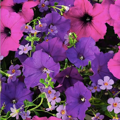 Healing Waters Fuseables petunia bacopa growing and blooming together.