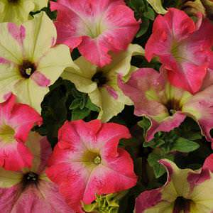 Petunia Fuseables Lime Coral seeds