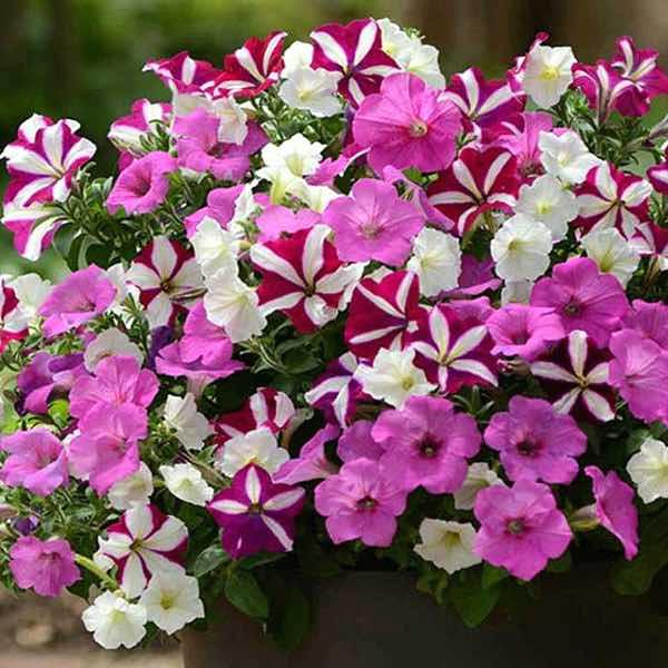 Ooh La La Fuseables Petunia blossoms