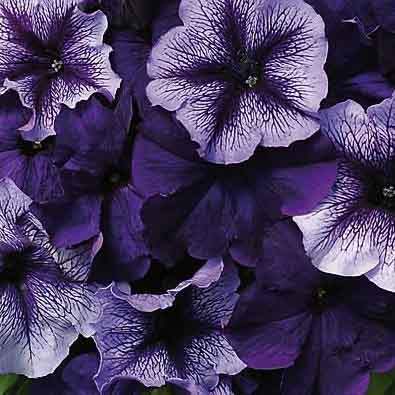 Fuseables Pleasantly Blue petunia