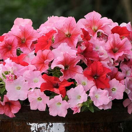 Petunia Fuseables Strawberry Wine annual flower seeds.
