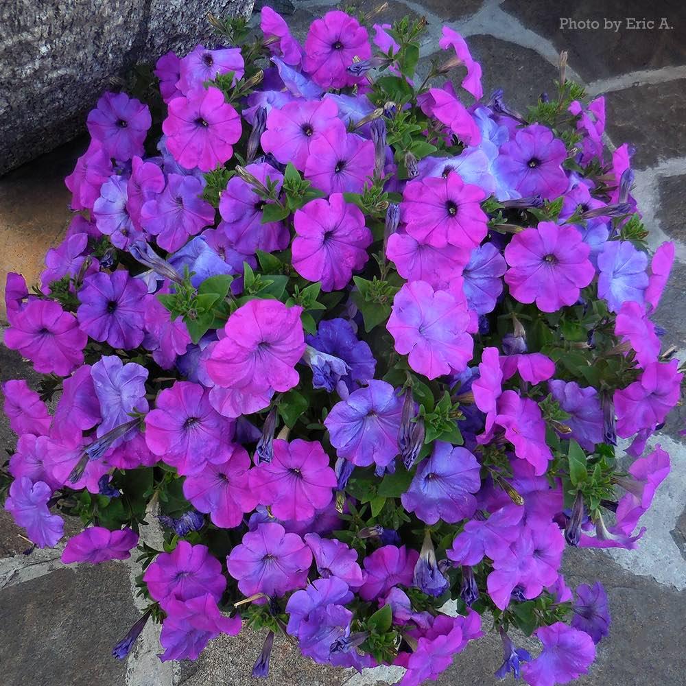 Hurrah Lavender Tie Dye petunia