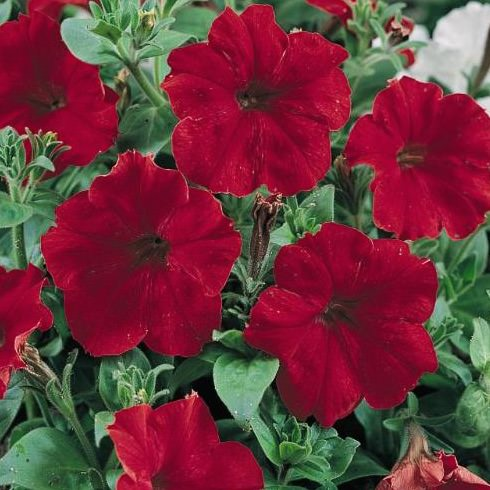 Petunia Hurrah Red seeds