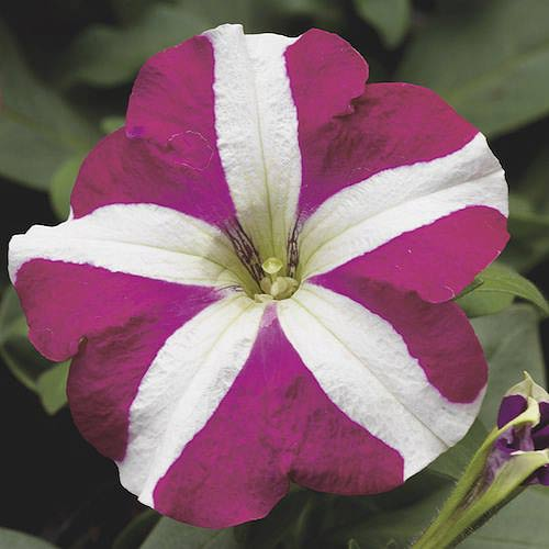 Petunia Hurrah Rose Star seeds