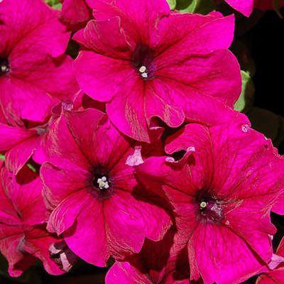 Limbo burgundy petunia
