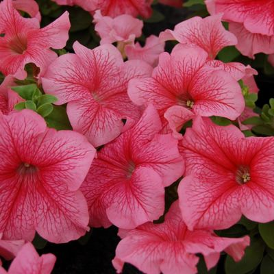 Limbo Red Veined petunia
