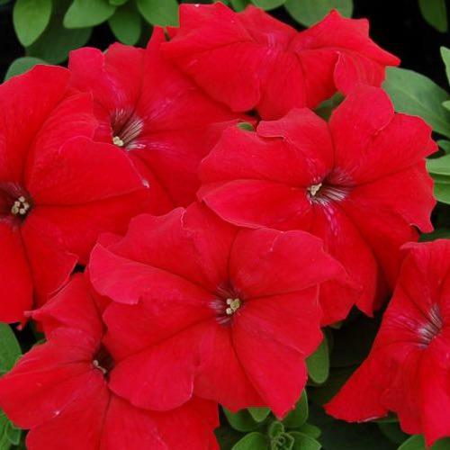 Limbo Red petunia