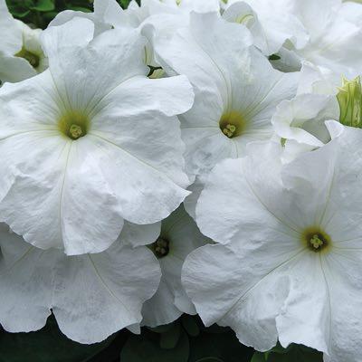 Limbo White petunia