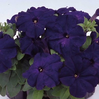 Petunia Heat Elite Mambo Blue seeds