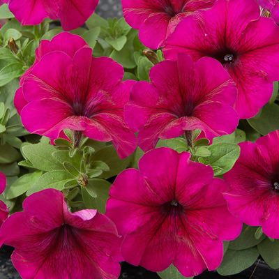 Petunia Heat Elite Mambo Burgundy seeds