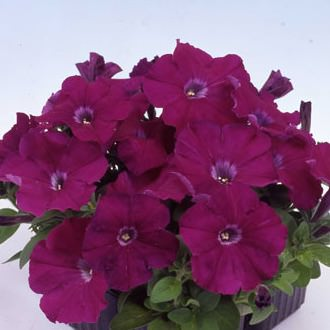 Heat Elite Mambo Purple petunia