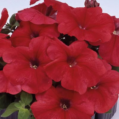 Heat Elite Mambo Red petunia