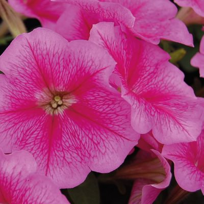 Heat Elite Mambo Rose Veined petunia