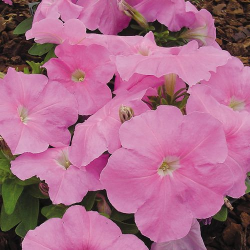 Petunia Heat Elite Mambo Sweet Pink seeds
