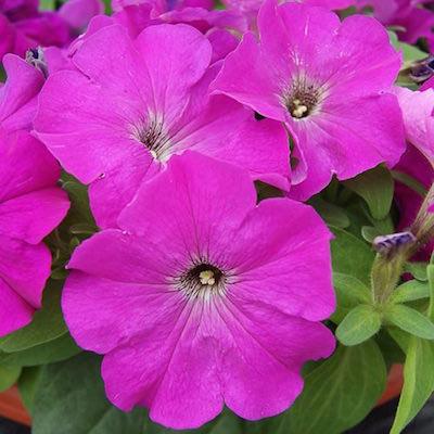 Heat Elite Mambo Violet blooms petunia