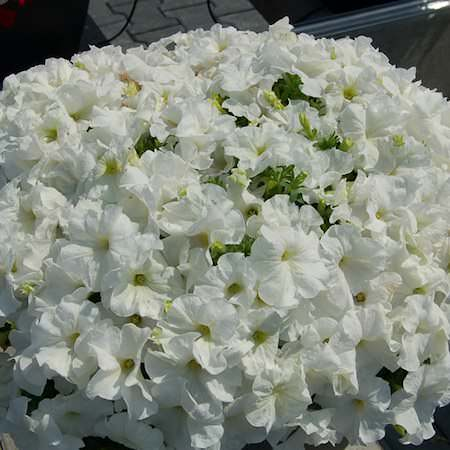 Petunia Heat Elite Mambo White seeds