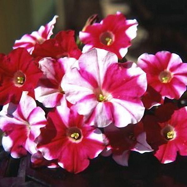 Nuvolari Harlequin Rose trailing petunia seeds