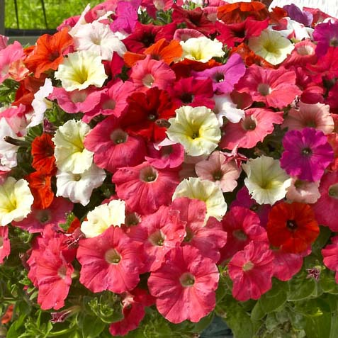 Nuvolari Mix trailing petunia seeds