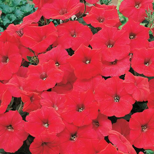 Nuvolari Red trailing petunia seeds