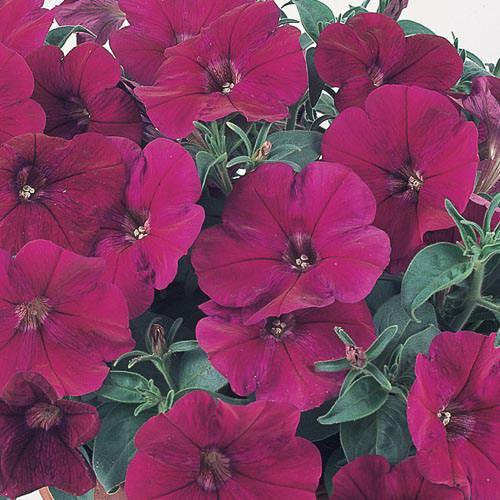 Nuvolari Violet trailing petunia seeds