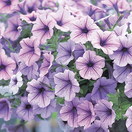 Opera Supreme Lilac Ice trailing petunia seeds