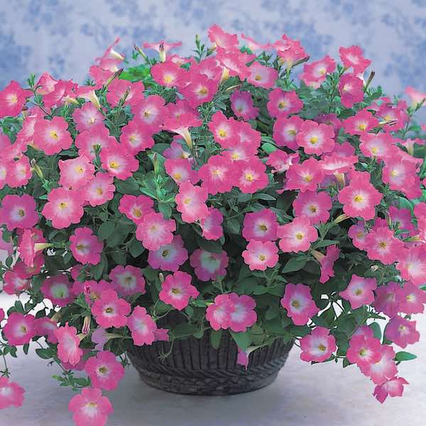 Opera Supreme Pink Morn flowers