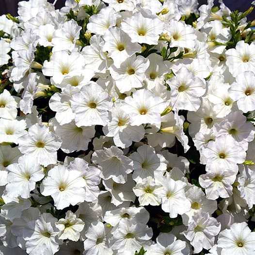 Opera Supreme White trailing petunia seeds