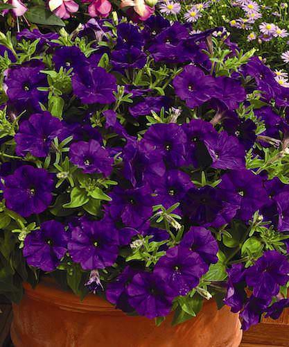 Petunia Picobella Blue flowers