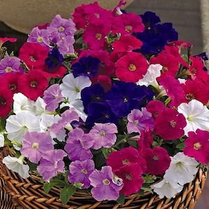 Petunia Picobella Mix seeds