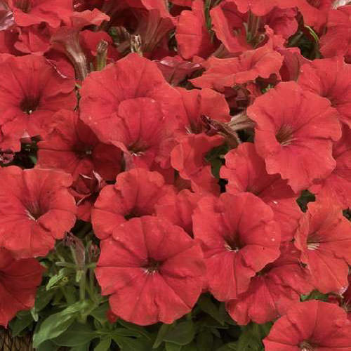 Petunia Picobella Red seeds