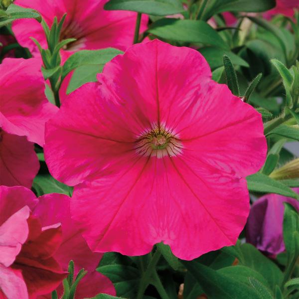Petunia, Plush Rose