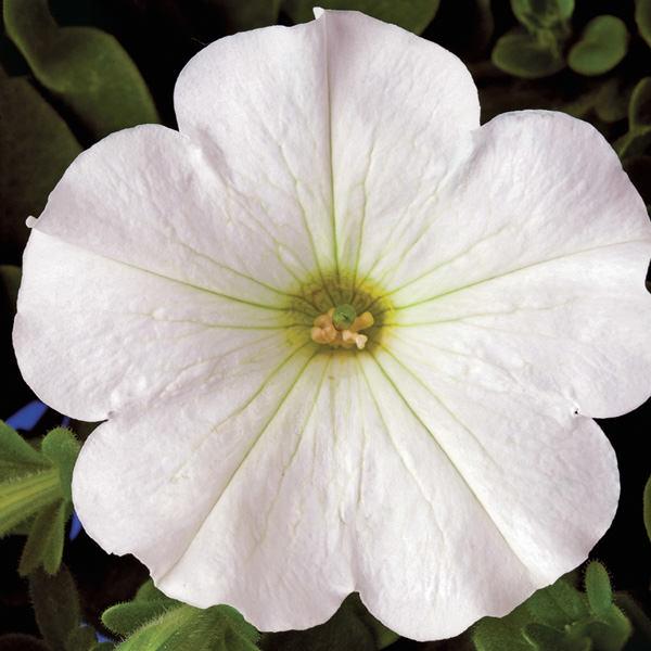 Petunia, Plush White