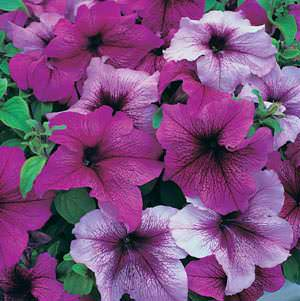 Petunia Prism Fruits of the Forest Mix seeds